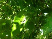 Lumière du soleil brillant par les feuilles de l'arbre Images stock