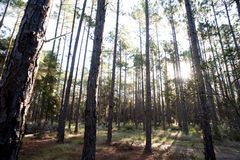 Lumière du soleil coulant par la forêt Photographie stock