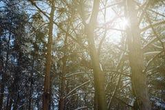Lumière du soleil d'hiver brillant par la forêt de neige Photos stock