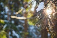 Lumière du soleil d'hiver brillant par la jeune branche de pin La Russie Photographie stock