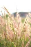 Lumière du soleil d'impact d'herbe de fleur. Photos libres de droits