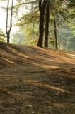 Lumière du soleil dans des forêts de pin image stock