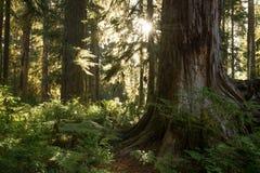 Lumière du soleil dans la forêt tropicale de Hoh Photos stock