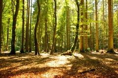 Lumière du soleil dans la forêt verte images libres de droits