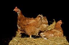 Lumière du soleil de crochet de poulets par la porte Photographie stock