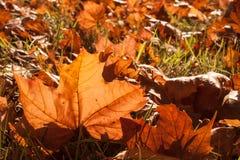 Lumière du soleil de feuilles d'automne Image libre de droits