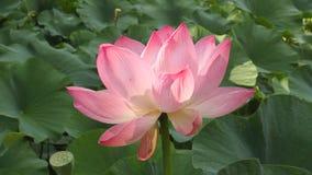 Lumière du soleil de fleur de Lotus Photos libres de droits