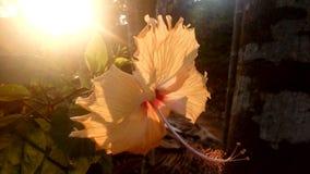 Lumière du soleil de fond de ketmie Photos libres de droits