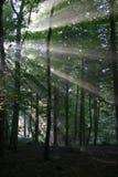Lumière du soleil de forêt Photo stock