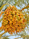 Lumière du soleil de palmier dattier sur le fond de nature Photographie stock
