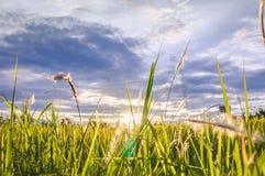 Lumière du soleil de soirée sur l'herbe Photo libre de droits