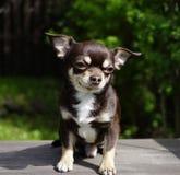 lumière du soleil en gros plan d'animal de portrait de chiwawa de chien Image libre de droits