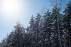 Lumière du soleil et fusée d'hiver avec des pins dans la neige Photographie stock