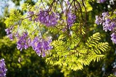 Lumière du soleil filtrant à l'aide des fleurs et des feuilles de Jacaranda Images stock