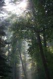 Lumière du soleil mystérieuse dans une forêt hollandaise Photographie stock libre de droits