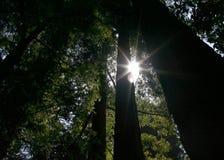 Lumière du soleil par des séquoias Photos stock