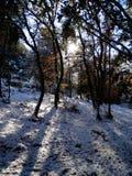 Lumière du soleil par les arbres dans une forêt couverte de neige photo libre de droits