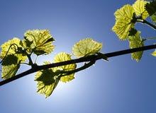 Lumière du soleil par les vignes 2 Photos stock