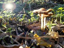Lumière du soleil qui brille au-dessus de quelques champignons dans la forêt photographie stock