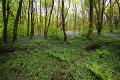 Lumière du soleil sur les jacinthes des bois de région boisée photo libre de droits