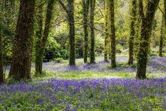 Lumière du soleil tachetée sur la jacinthe des bois Forest Floor en Irlande Images stock