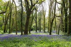 Lumière du soleil tachetée sur la jacinthe des bois Forest Floor en Irlande Photos libres de droits