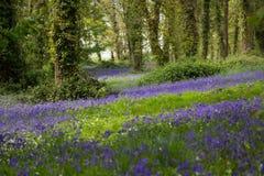 Lumière du soleil tachetée sur la jacinthe des bois Forest Floor en Irlande Photo libre de droits