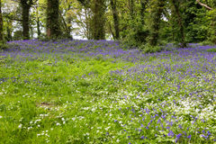 Lumière du soleil tachetée sur la jacinthe des bois Forest Floor en Irlande Photographie stock libre de droits