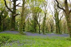 Lumière du soleil tachetée sur la jacinthe des bois Forest Floor en Irlande Image stock