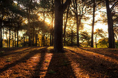 Lumière et ombre dans la forêt de pin Images stock