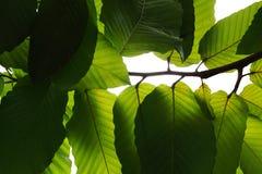 Lumière et ombre sous la branche d'arbre tropicale de feuilles de vert OV images stock
