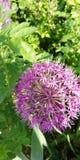 Lumière et ombre sur les ballons à jour des inflorescences pourpres de l'ail décoratif dans la perspective de l'herbe d'été ?t? photographie stock