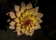 Lumière jaune d'après-midi de fleur de Zinnia avec des gouttes de pluie Photos libres de droits