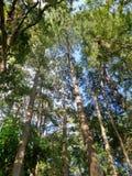 Lumière par le pin grand sous le ciel bleu Photographie stock libre de droits