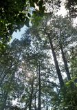 Lumière par le pin grand sous le ciel bleu Photos stock