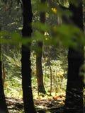 Lumière par les arbres de la forêt Photographie stock libre de droits