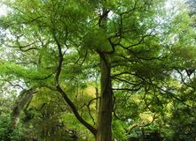 Luminescencyjny zielony drzewo z czarnymi gałąź Zdjęcia Royalty Free