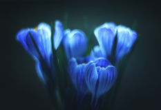 Luminescent blue crocus on dark Royalty Free Stock Photography