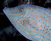 Luminescent pattern of a Scribbled filefish stock photo