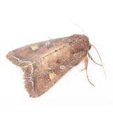 Luminoso-Riga lepidottero dell'Brown-Occhio (mosca di notte) Immagine Stock Libera da Diritti