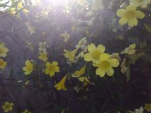 ` Luminoso s del giglio della tromba gialla Fotografia Stock Libera da Diritti