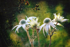 Luminous antique style Flannel Flowers. (Actinotus helianthi) in the Australian bush. Grunge and vintage textured image Stock Image