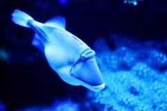 Luminous blue fish swimming underwater. Glowing Turquoise blue fish swimming underwater royalty free stock photo