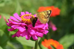 Luminous butterflies collect nectar from colorful zinnias. A yellow sulphur butterfly, with diaphanous wings backlit on a summer day, feeds next to a skipper stock photos