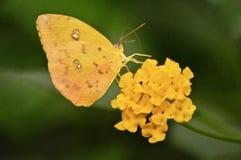 A Luminous Butterfly on a flower stock photos