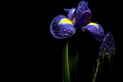 Luminous iris Royalty Free Stock Images
