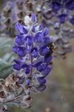 Luminous Lupine with Benevolent Bee Visitor; Horse Heaven Hills, Washington State royalty free stock photos