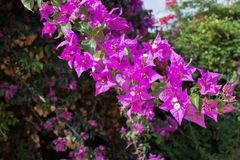 Luminous pink bougainvillea Royalty Free Stock Photography
