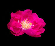 Luminous pink Dog Rose Stock Photo