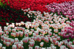 Luminous tulips. Light play through dense stand of vari-colored tulips in central park new york city Royalty Free Stock Photos